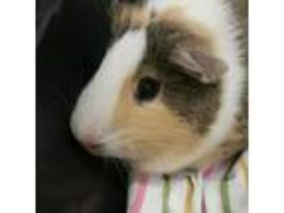 Adopt Drew a Brown or Chocolate Guinea Pig / Guinea Pig / Mixed small animal in