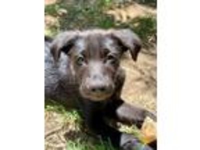 Adopt Scooby Doo Litter_Shaggy a Labrador Retriever, German Shepherd Dog
