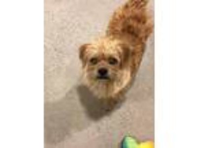 Adopt MOCHA a Brussels Griffon / Terrier (Unknown Type, Small) / Mixed dog in