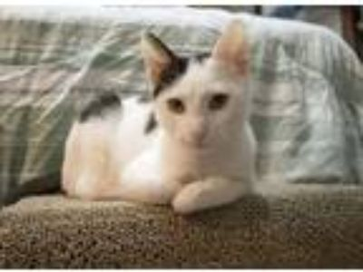 Adopt Daredevil a White (Mostly) Domestic Shorthair (short coat) cat in Chicago