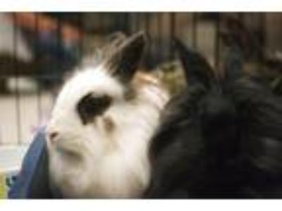 Adopt Piper / Lilly a Lionhead / Mixed (short coat) rabbit in Tampa