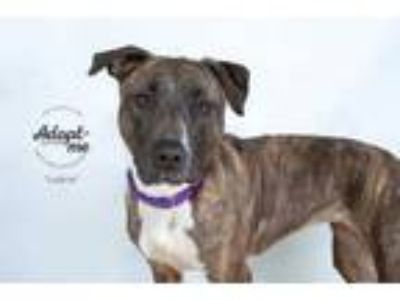 Adopt Lybia a White American Pit Bull Terrier / Mixed dog in Philadelphia
