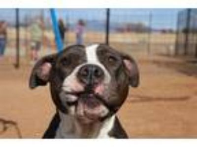 Adopt BOOP a Black - with White American Pit Bull Terrier / Mixed dog in