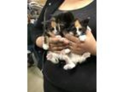 Adopt Calico Kittens! a Calico, Domestic Short Hair