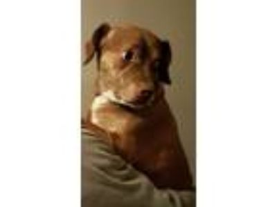 Adopt Kandi a Brown/Chocolate - with White Beagle / American Pit Bull Terrier /