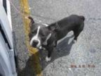 Adopt BRACE a Pit Bull Terrier, Mixed Breed