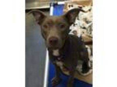 Adopt Dobby a American Pit Bull Terrier / Hound (Unknown Type) / Mixed dog in