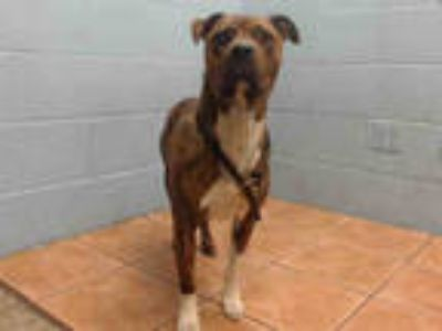 Adopt SCOOBY a Brindle Boxer / American Pit Bull Terrier / Mixed dog in Downey