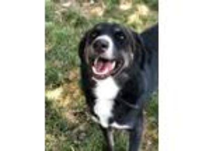 Adopt Link a Border Collie