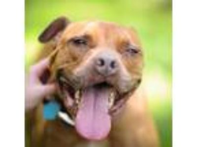 Adopt Anna Grace a American Pit Bull Terrier dog in Walker, MI (24575547)