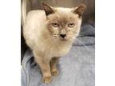Adopt Violet a Siamese, Domestic Short Hair