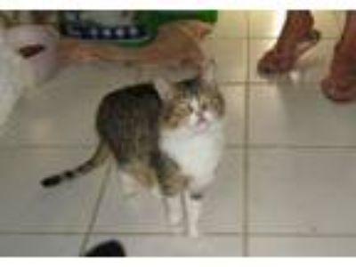 Adopt Blake a American Shorthair