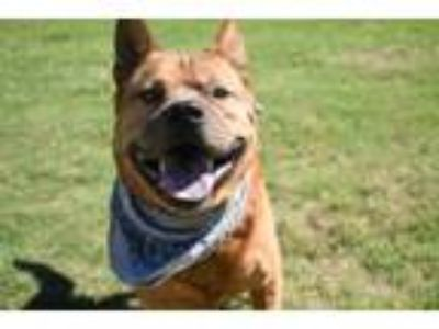 Adopt Perry a Chow Chow, Carolina Dog
