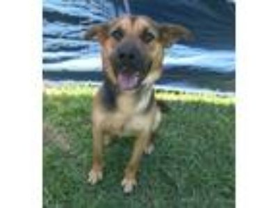 Adopt Samson a German Shepherd Dog