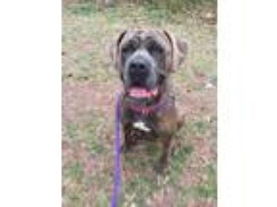 Adopt Zoey a Gray/Blue/Silver/Salt & Pepper Cane Corso / Mixed dog in Wantagh