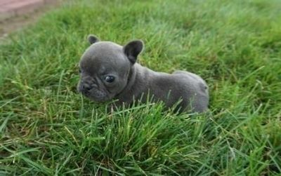 PATIENT French bulldog puppies ready