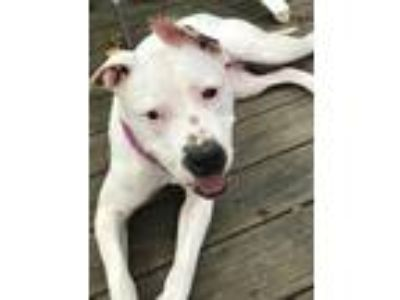 Adopt Heidi a White - with Black Dalmatian / Pit Bull Terrier / Mixed dog in