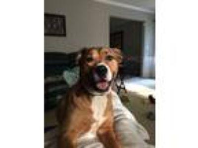Adopt Savannah a Brown/Chocolate - with Black Labrador Retriever / Bull Terrier