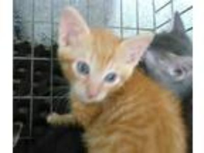 Adopt HARLEY a Orange or Red (Mostly) Domestic Shorthair / Mixed (short coat)