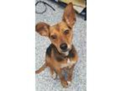 Adopt Skye a Miniature Pinscher / Beagle / Mixed dog in Angola, IN (25313588)