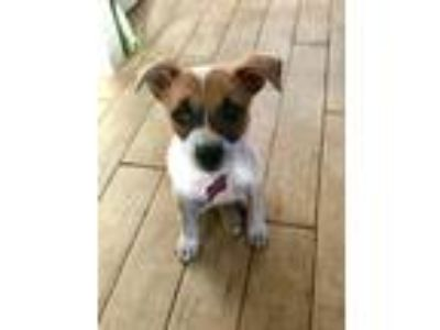 Adopt Spice a Australian Cattle Dog / Blue Heeler