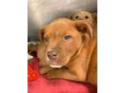 Adopt Theodore a Red/Golden/Orange/Chestnut Mixed Breed (Large) / Mixed dog in
