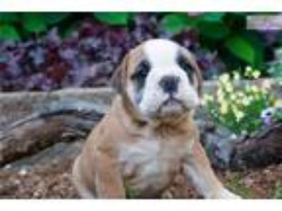Baron Beautiful AKC English Bulldog CUTE!