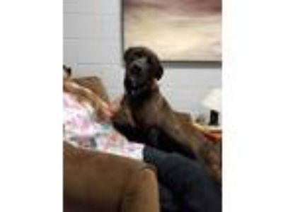 Adopt Jenny a Brown/Chocolate - with White Labrador Retriever / Mixed dog in