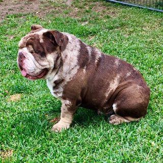 English Bulldog AKC/DNA Chocolate Tri Merle Male Adult