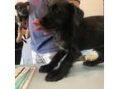 Adopt Daisy a Black Schnauzer (Miniature) / Labrador Retriever dog in League