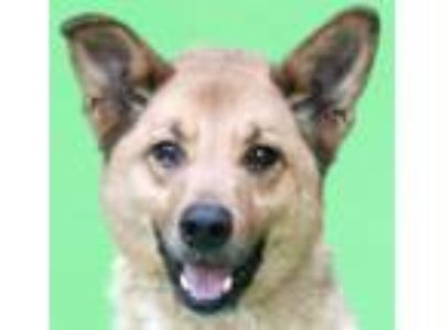 Adopt Maderno HOUSE TRAINED! a Belgian Shepherd / Malinois, Collie