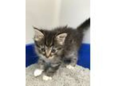 Adopt Tom Collins a Domestic Shorthair / Mixed (short coat) cat in St.