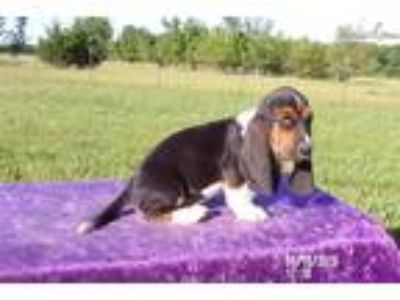 Smokey the AKC Basset Hound Puppy