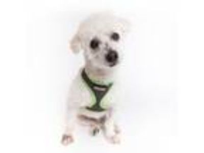 Adopt Booney a Poodle