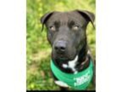 Adopt BEAR a Pit Bull Terrier, Mixed Breed