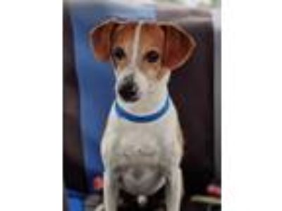 Adopt Scout a Jack Russell Terrier