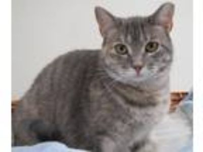 Adopt Elizabeth a Calico or Dilute Calico Calico / Mixed (short coat) cat in