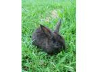 Adopt Melody a Black Other/Unknown / Mixed (short coat) rabbit in Baton Rouge