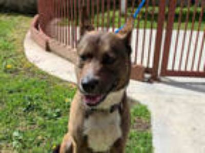 Adopt HOWARD a Brown/Chocolate - with Black German Shepherd Dog / Mixed dog in