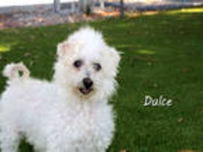 Adopt DULCE a White Poodle (Miniature) / Mixed dog in Fort Myers, FL (24758776)