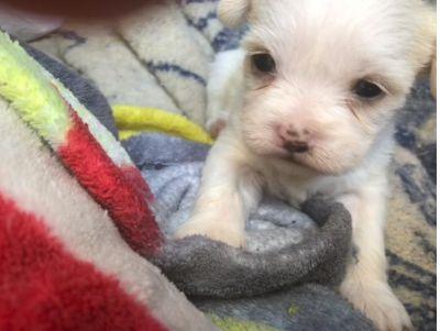 Unknown-Shih Tzu Mix PUPPY FOR SALE ADN-78161 - Female Shitzu Mix Puppy