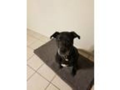 Adopt Ghost a Black Labrador Retriever / American Pit Bull Terrier / Mixed dog