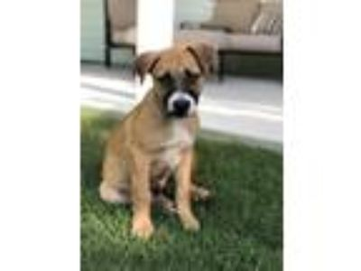 Adopt Romeo a Black - with Brown, Red, Golden, Orange or Chestnut Catahoula