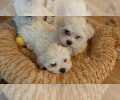 Maltese PUPPY FOR SALE ADN-130453 - Two Naturally Reared Maltese Puppies