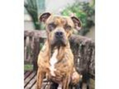 Adopt Tony a American Staffordshire Terrier