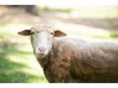 Adopt Nibbles a Sheep
