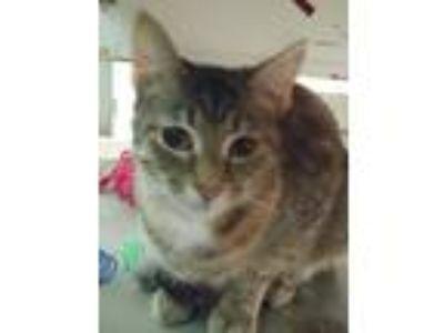 Adopt Annabelle a Tan or Fawn Tabby Domestic Shorthair (short coat) cat in E.
