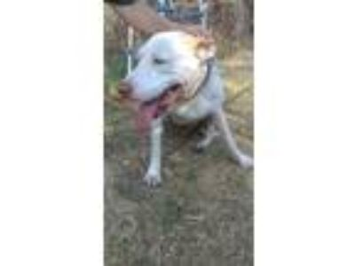 Adopt Rudy (shy sweet senior) a Pointer, Pit Bull Terrier