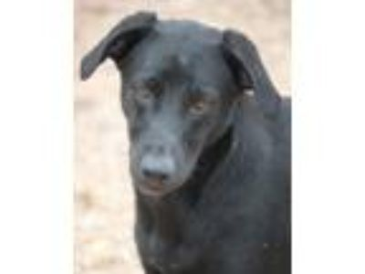 Adopt Idaho a Black Labrador Retriever / Collie / Mixed dog in Hooksett