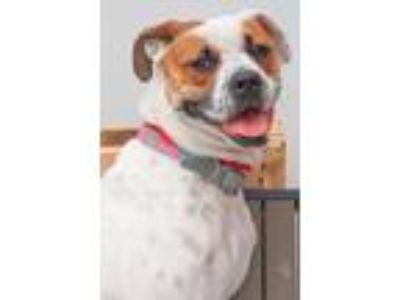 Adopt Frida Kahlo a White - with Red, Golden, Orange or Chestnut Boxer / Mixed